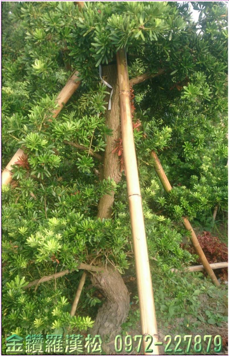 金鑽羅漢松,金鑽羅漢松樹