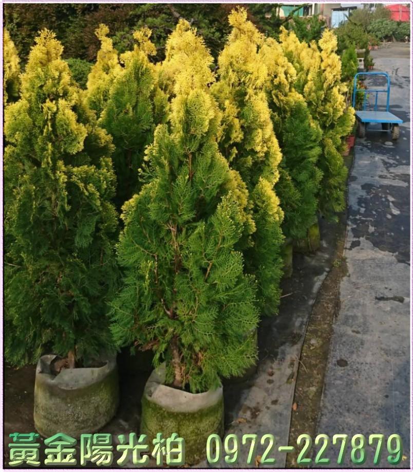 黃金陽光柏盆栽