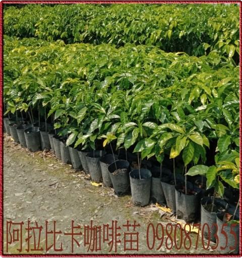 阿拉比卡咖啡苗
