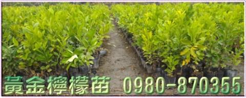 黃金檸檬樹苗