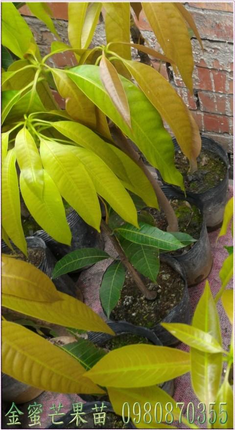 金蜜芒果種苗
