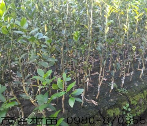 茂谷柑種苗