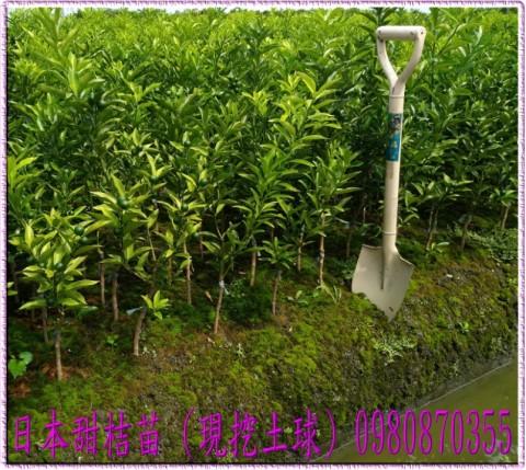 日本甜桔苗