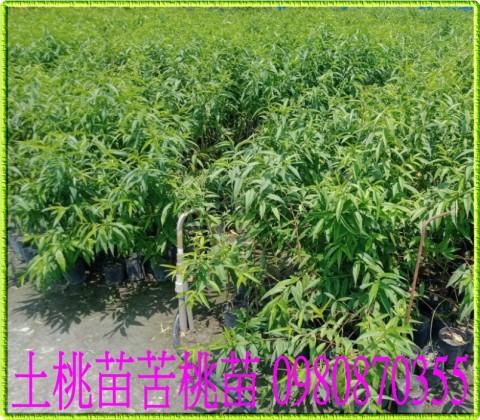 紅肉李,水蜜桃,甜桃,嫁接稼接用之砧木。