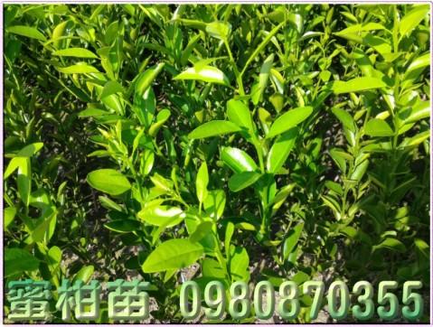 黃金蜜柑苗