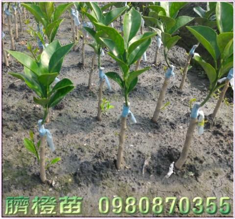 臍橙樹苗,財丁樹苗,肚臍柑樹苗,肚臍丁樹苗