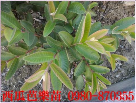 西瓜芭樂樹苗