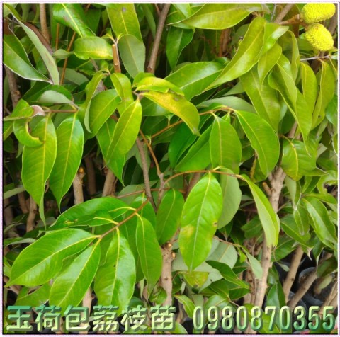 玉荷包荔枝種苗