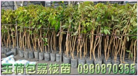 玉荷包荔枝